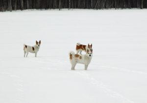 Våra tre Norrbottenspetsar 2002. Idbäckens Madja längst fram, Klingspetsens Raija och Klingspetsens Nova längst till vänster